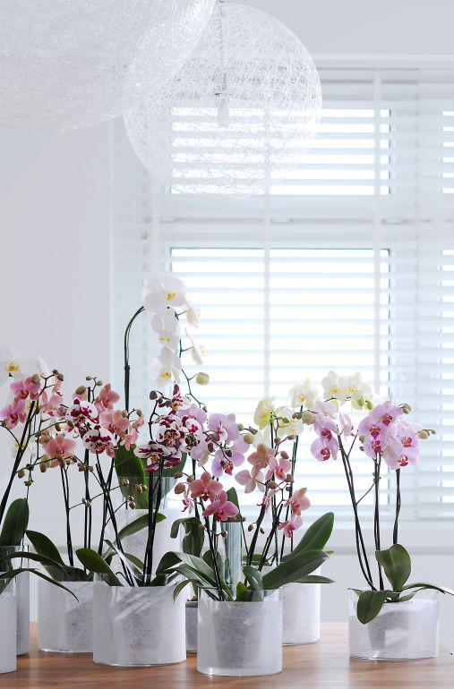 orchid-fiore-darredo-5
