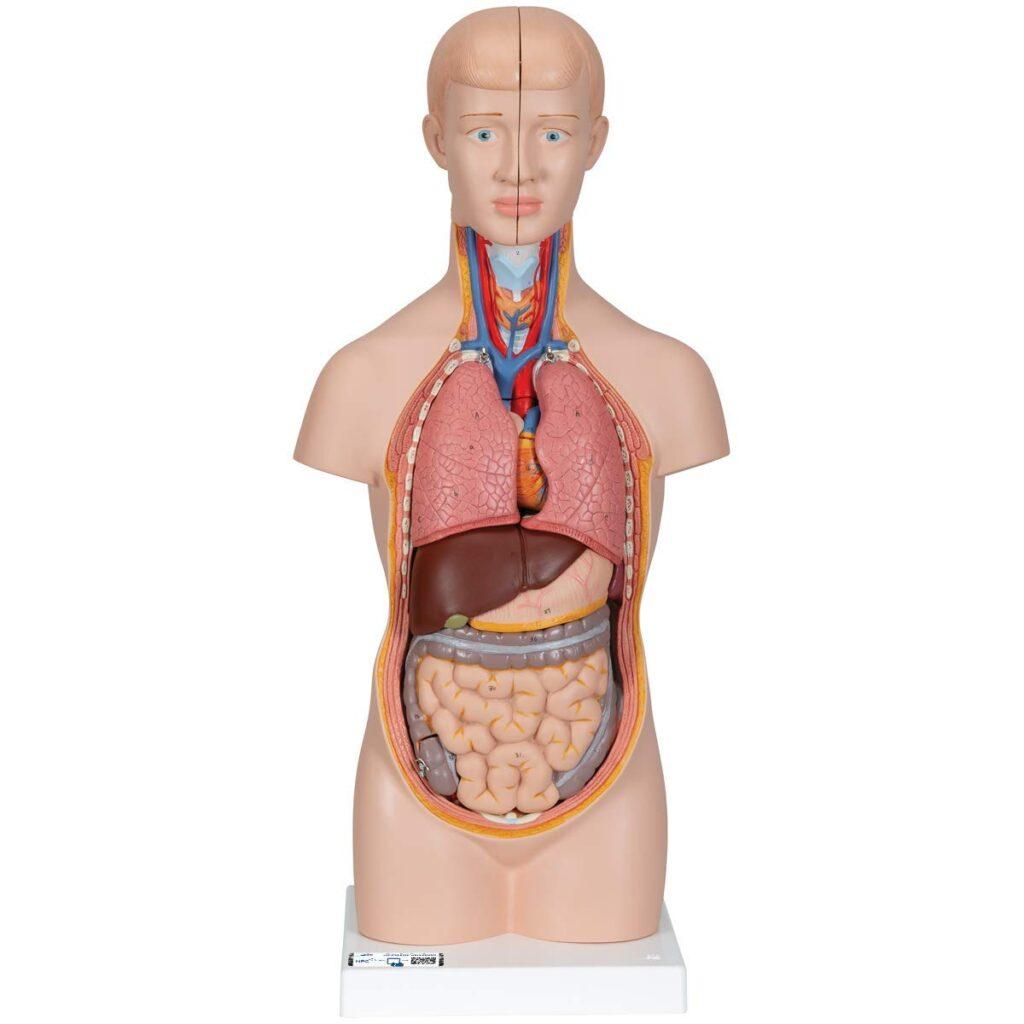 Design per bambini nel Museo dei diritti dell'infanzia - image amazon-3B-Scientific-B22-Mini-Torso-in-12-Parti-software-gratuito-di-anatomia-3B-Smart-Anatomy-1024x1024 on http://www.designedoo.it